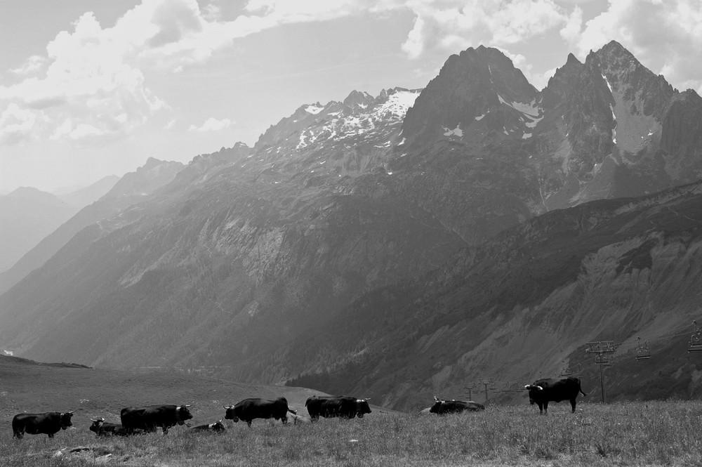Vaches à l'alpage, col de Balme