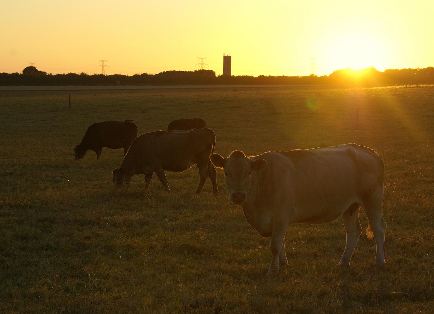 vaches au coucher de soleil