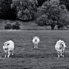 Vaches isocèles