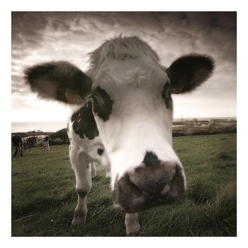 Vaches Manchotes