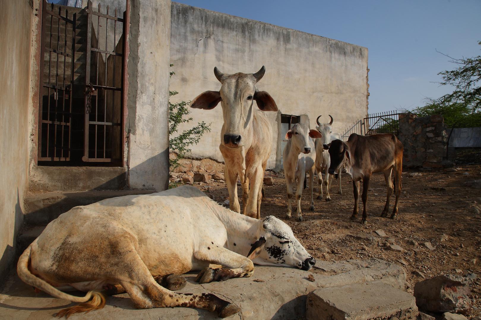 Vaches sacrées, Rajasthan