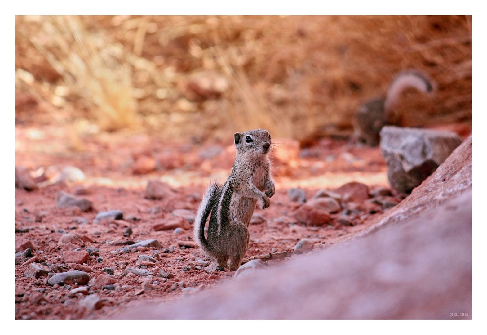 [valley of fire] - V ... the chipmunk again