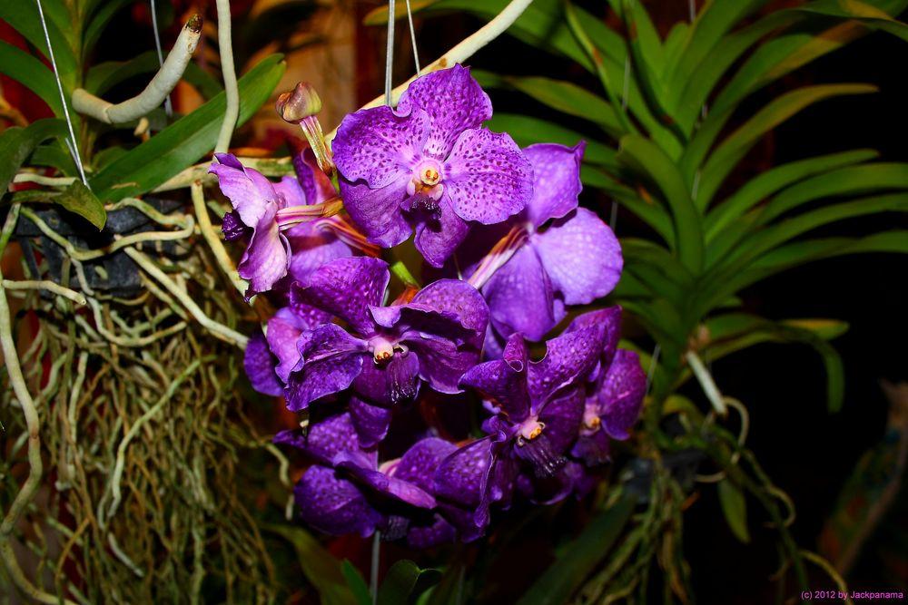 vanda orchidee foto bild pflanzen pilze flechten. Black Bedroom Furniture Sets. Home Design Ideas