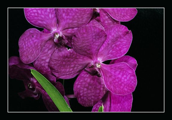 Vanda, violett