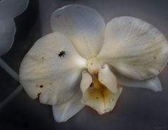 Vanitas..... ¿dónde ahora aquellas mañanas...? Orchidee lectio