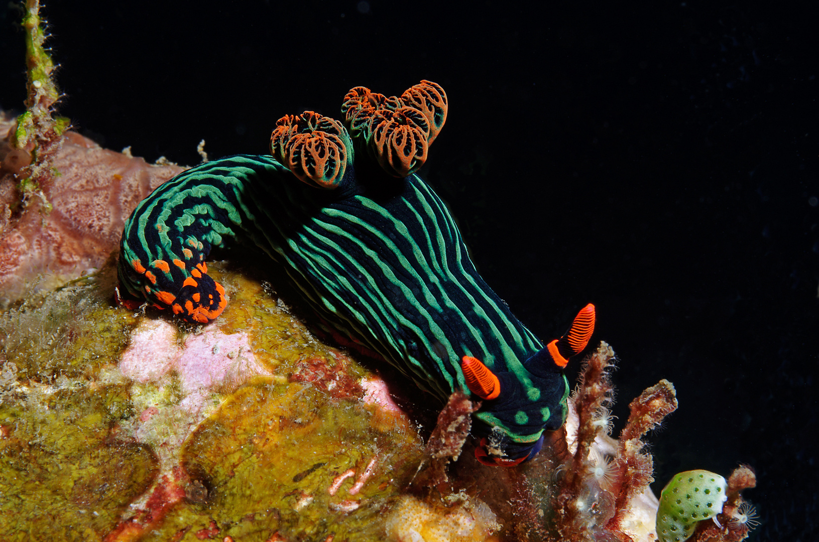 Variable Neonsternschnecke (Nembrotha kubaryana)