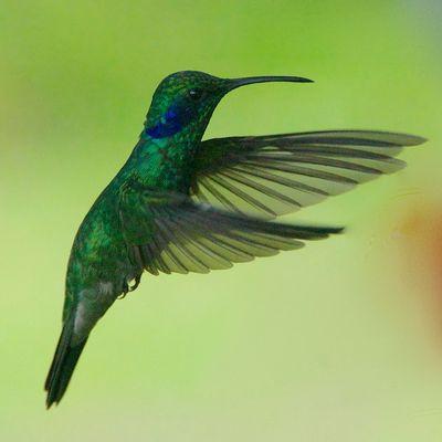 …Variante 1 eines Kolibris...