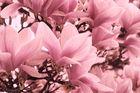 Variation im Bild Magnolienblüten...4