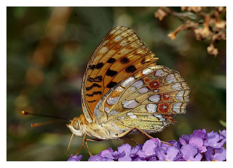 Variopinta farfalla