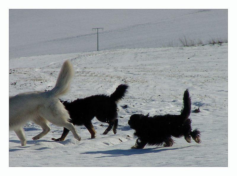 Vasaloppet för hundar