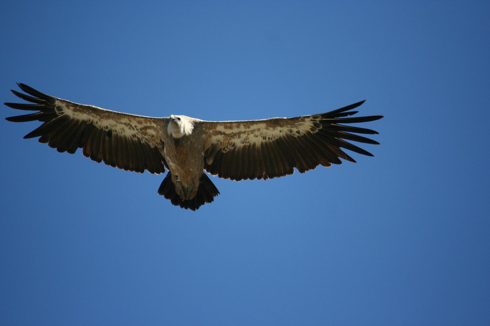 vautour #1