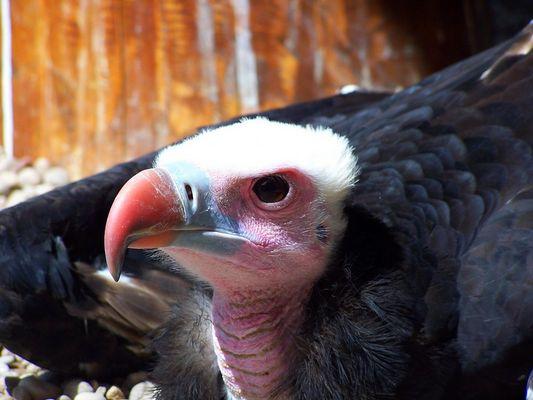 vautour au repos