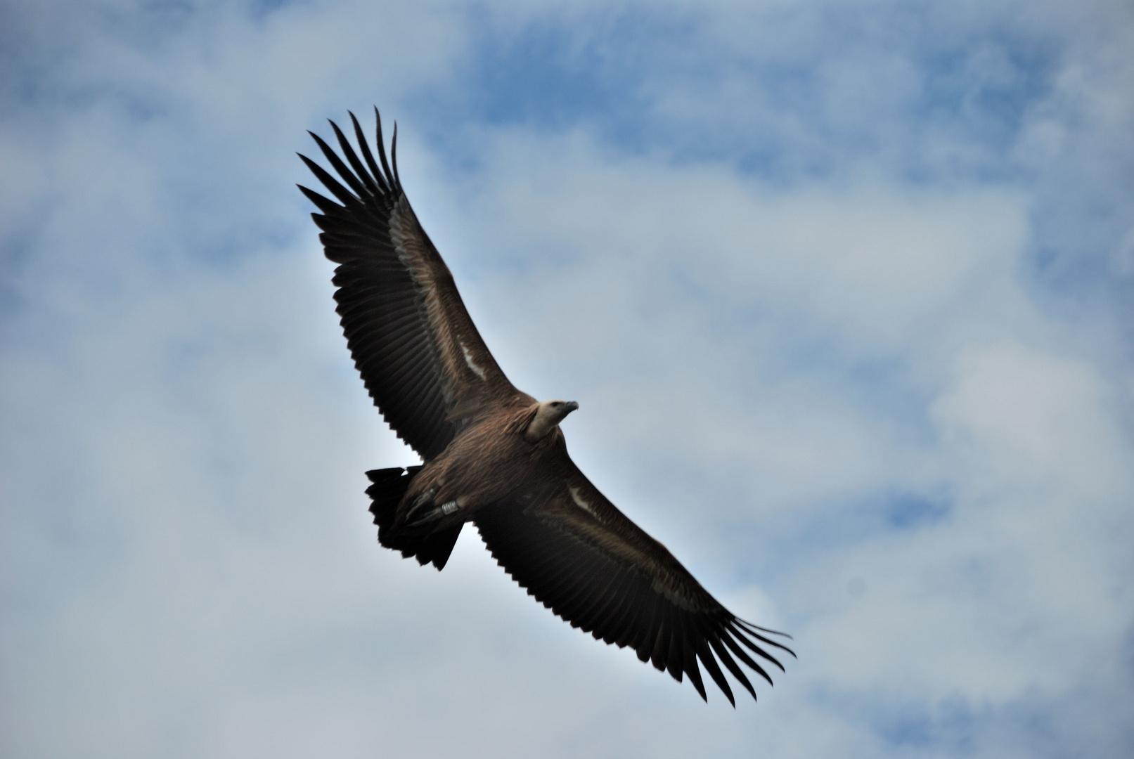 vautour, en Drôme provençale
