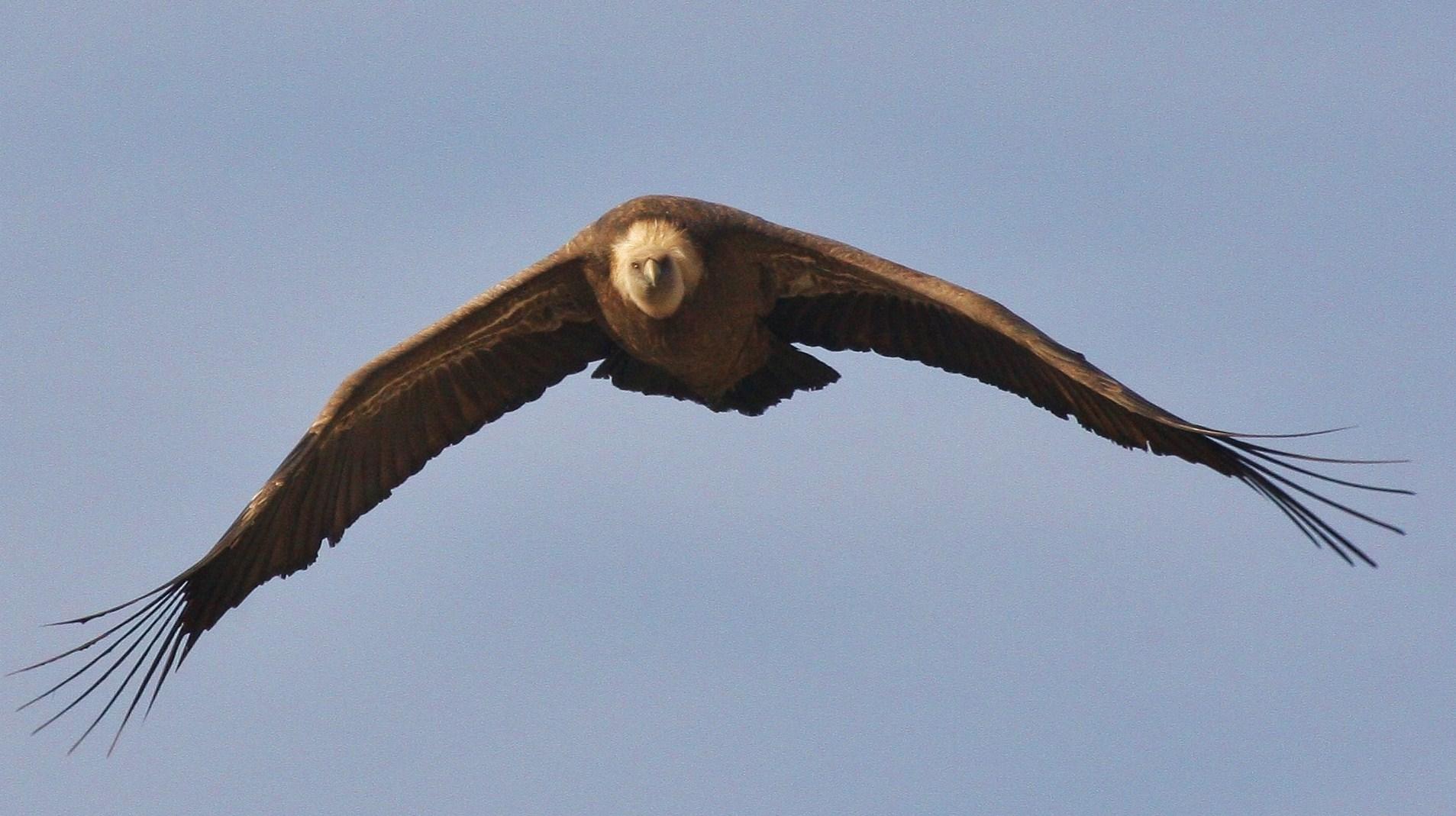 vautour fauve dans les Baronnies