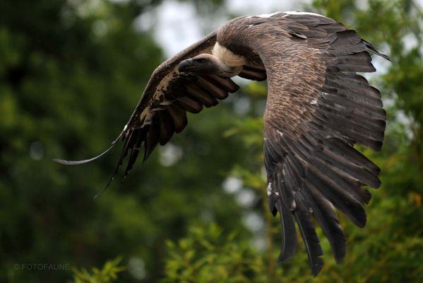 Vautour fauve ( Zoo de La Flêche )