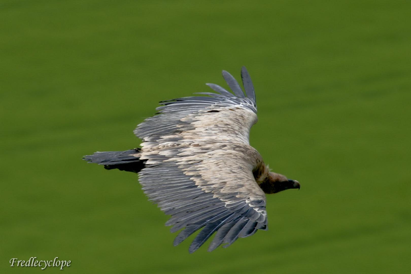 vautours au dessus de la navarre