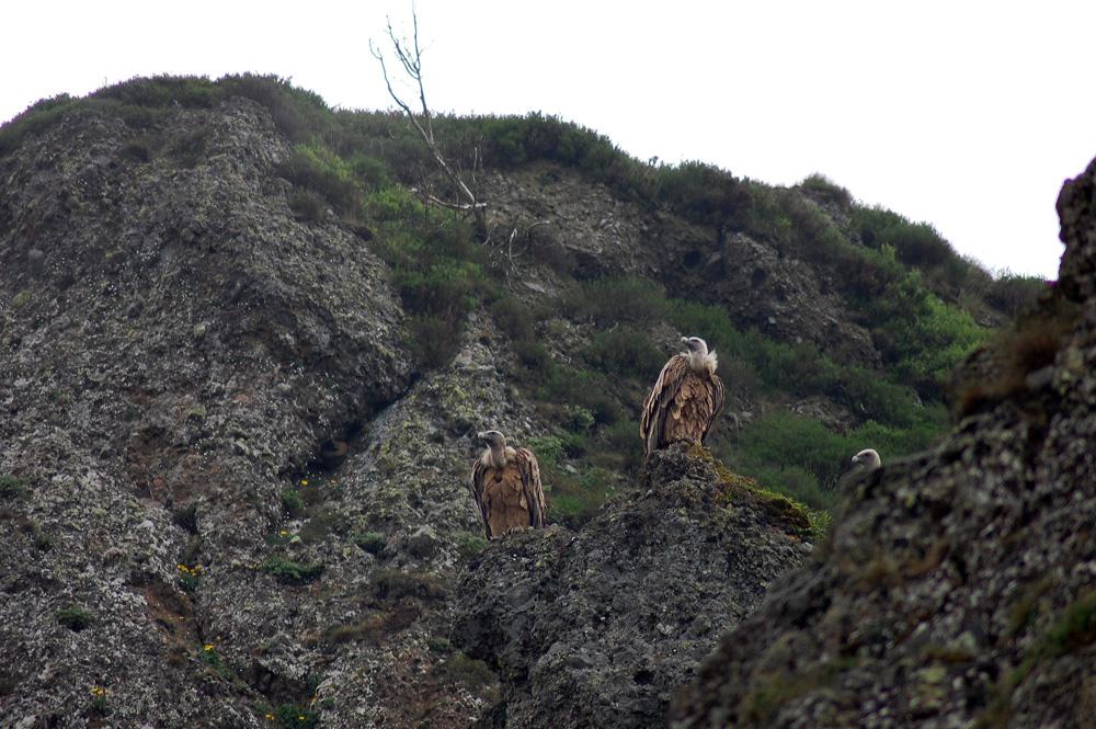 vautours en pleine mature