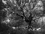 Vecchio albero
