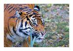 Vegetarian Tiger