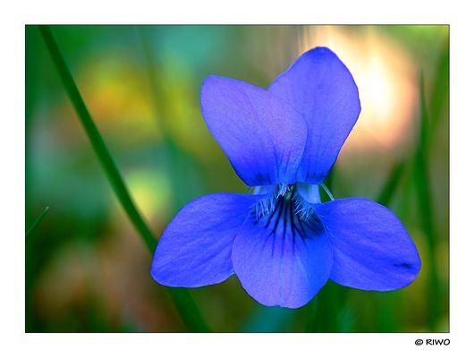 Veilchen Blüte in der Günter Klotz Anlage gefunden und gleich festgehalten....