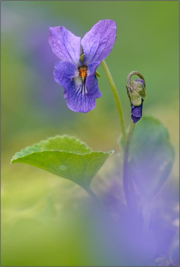 Veilchen(viola odorata)