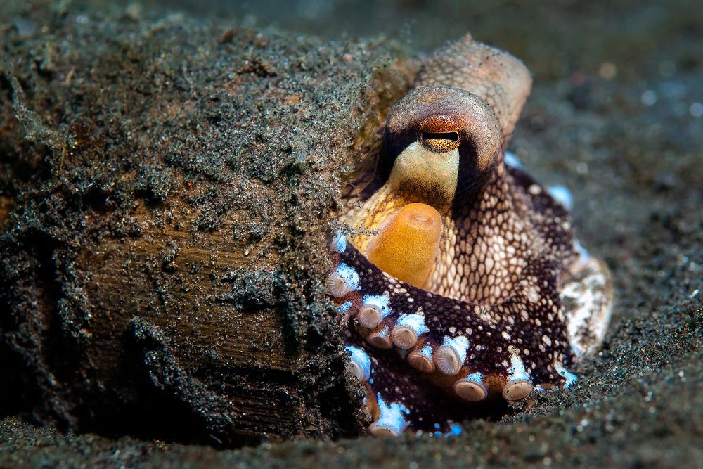 Veined Octopus (Coconut Octopus) - Octopus marginatus - Venen Oktopus (Kokosnuss Tintenfisch)