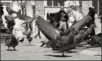 Venedig und seine Tauben