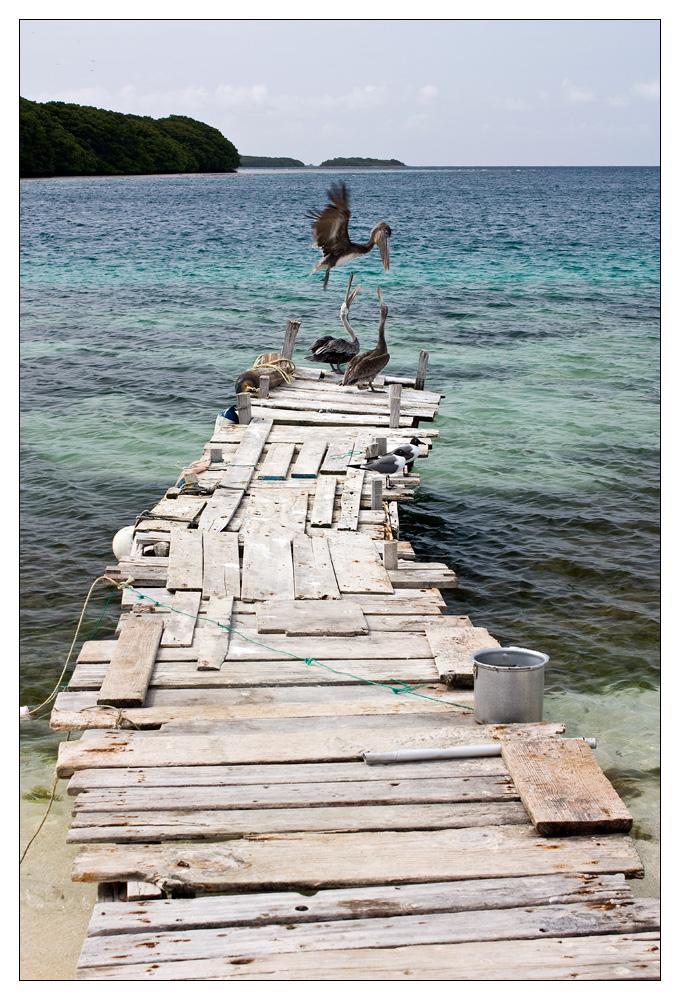 [VENEZUELA03] Die Pelikane