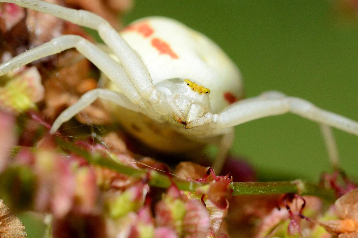 Veränderliche Krabbenspinne