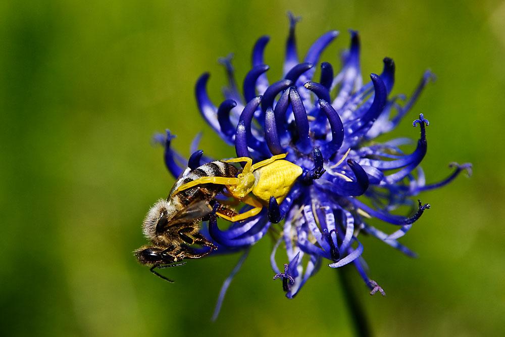 Veränderliche Krabbenspinne mit erbeuteter Biene auf kugeliger Teufelskralle