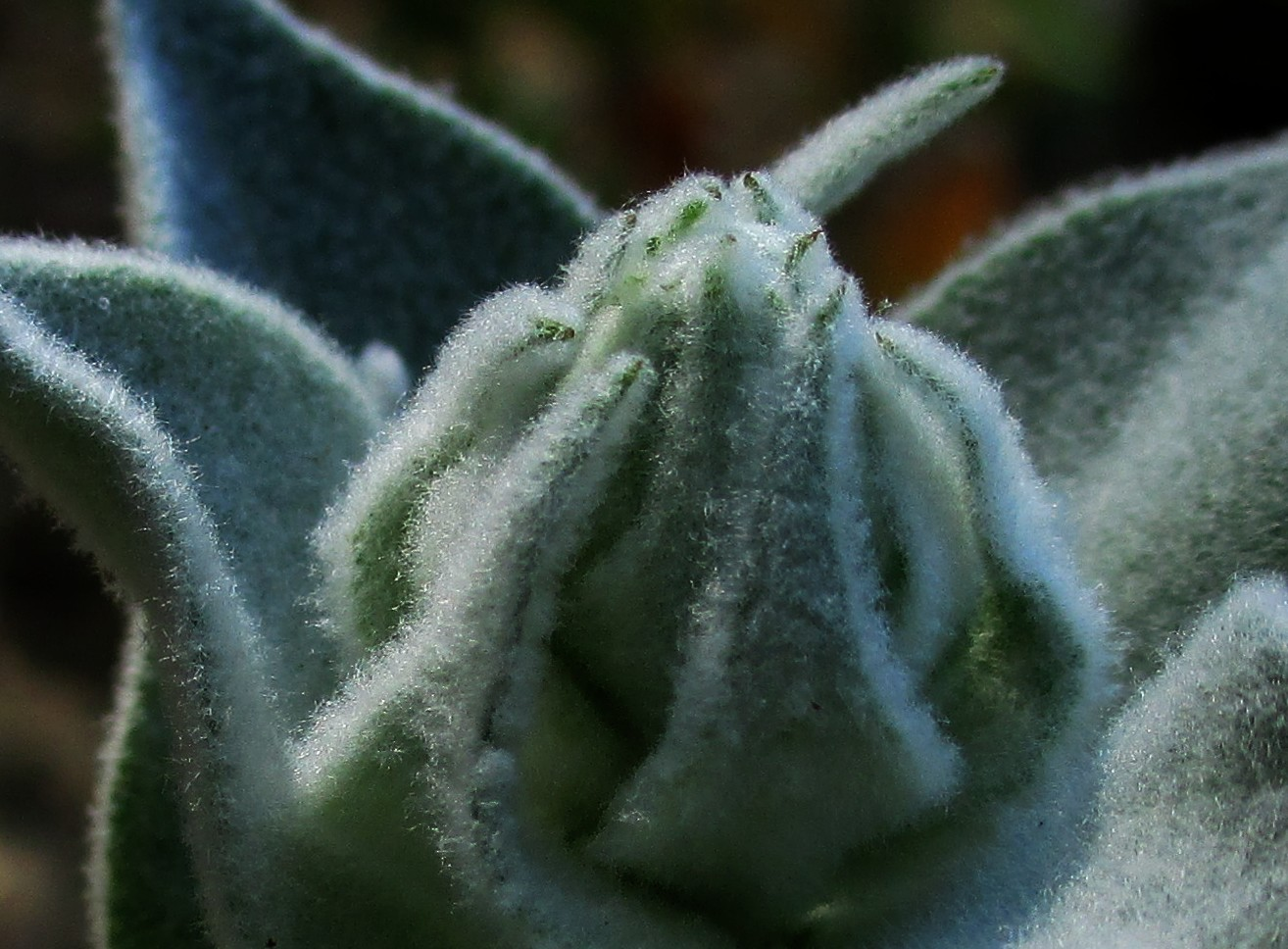 Verbascum olympicum - Kandelaber-Königskerze