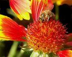 verblühende Kokardenblume