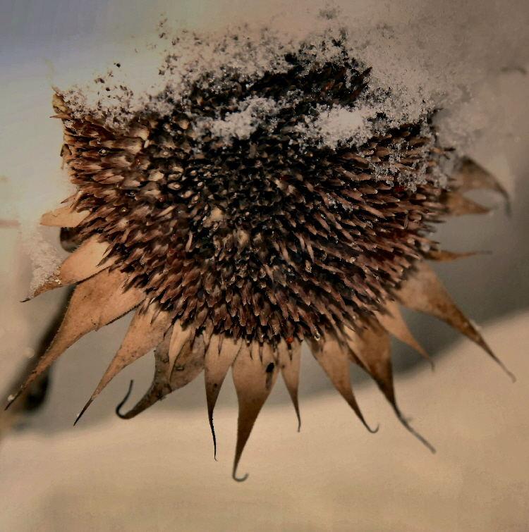verblühte ausgegerbte sonnenblume im winterkleid