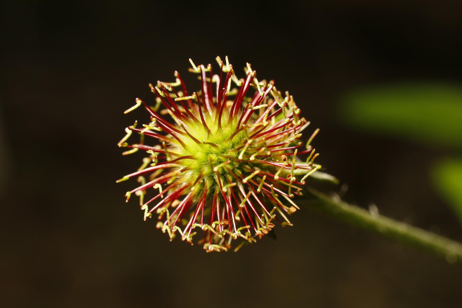 Verblühte Blüte - Nelkenwurz Samenstand