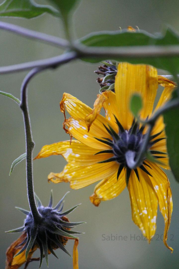 Verblühte, kleine Sonnenblumen