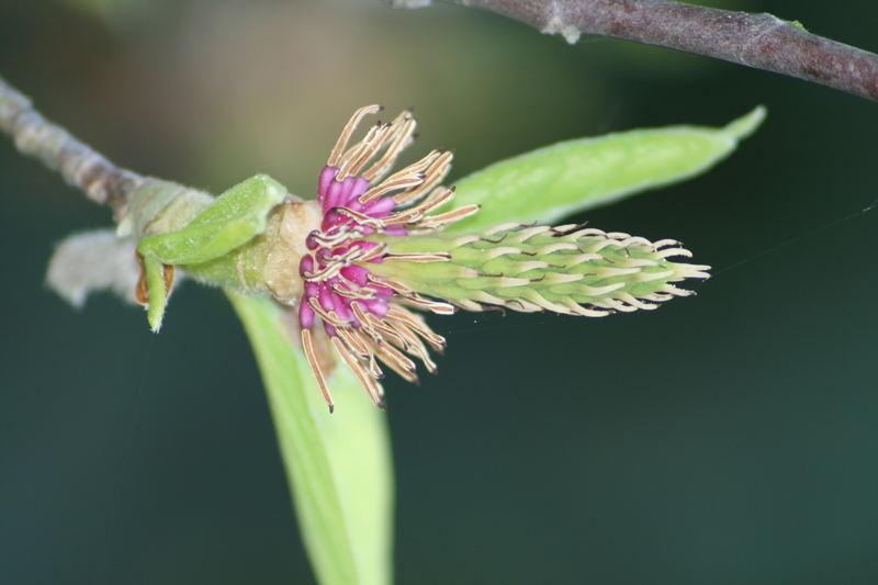 verblühte Magnolienblüte