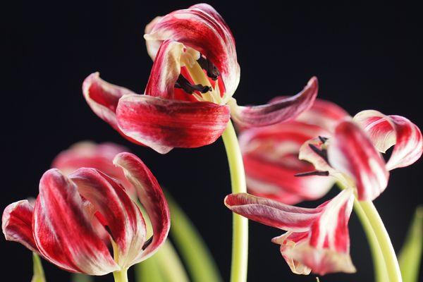 Verblühte Tulpen im März (2. Bild)