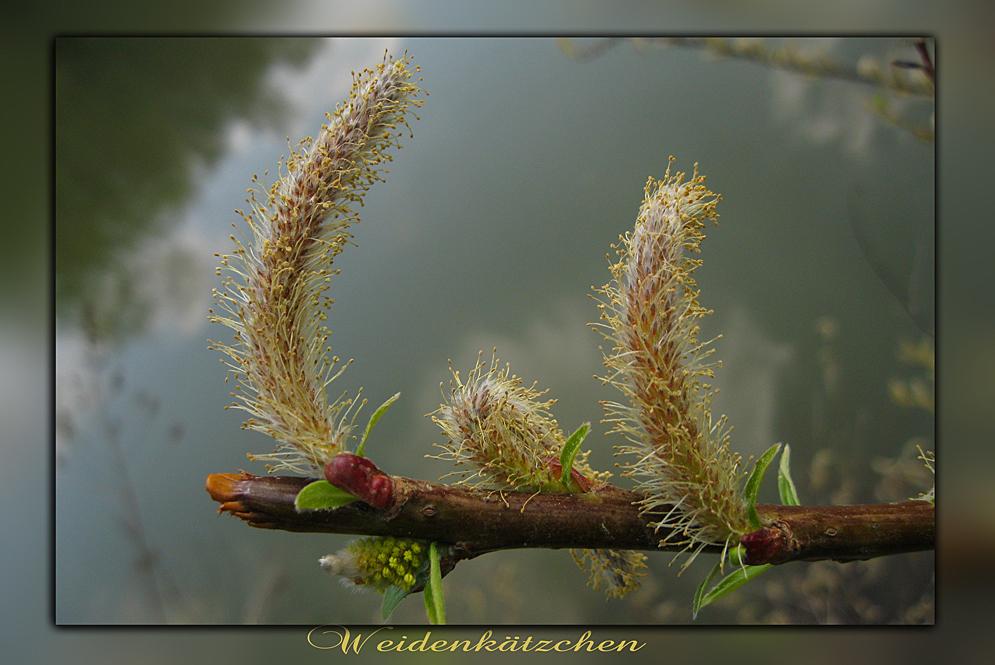Verblühte Weidenkätzchen