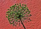 Verblühte Zwiebelpflanze