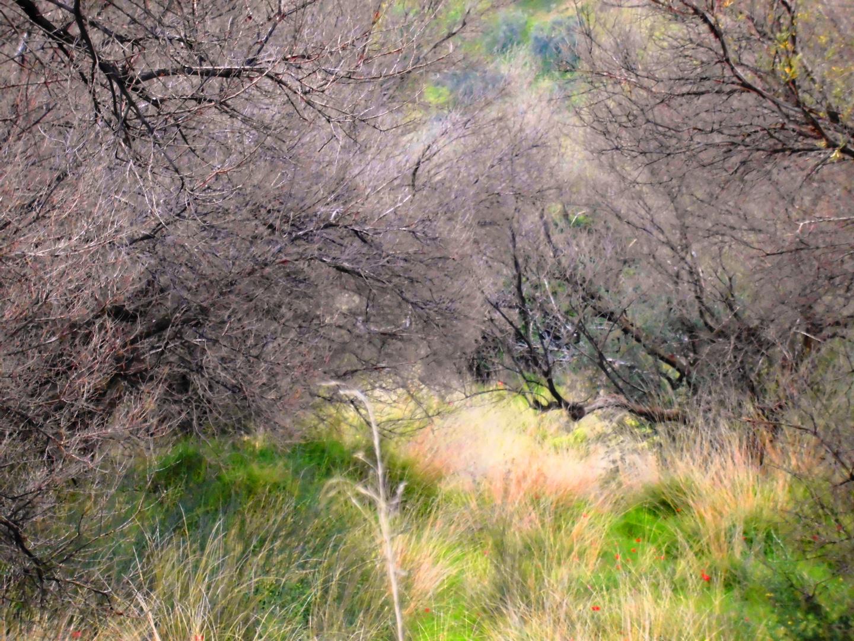 Verbrannte Olivenbäume bei Kerinia