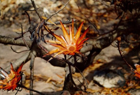 Verbrannte Protea