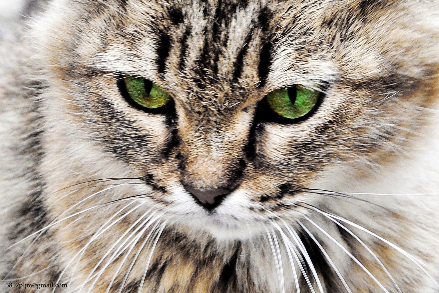 Verde felino