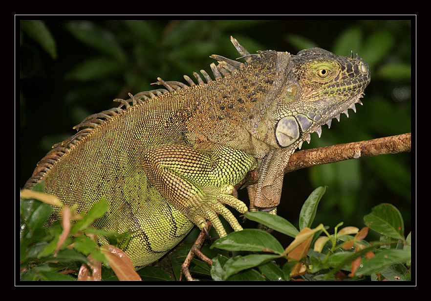 Verde Iguana