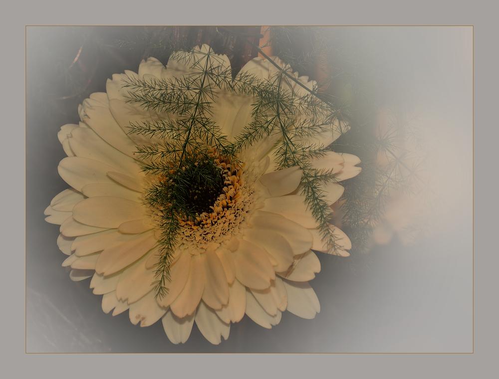 Veredeltes Gänseblümchen........., die Gerbera