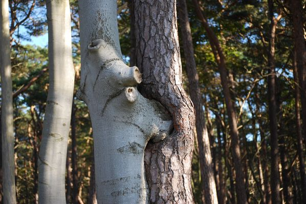 Vereinigung - Bäume im Darsser Wald