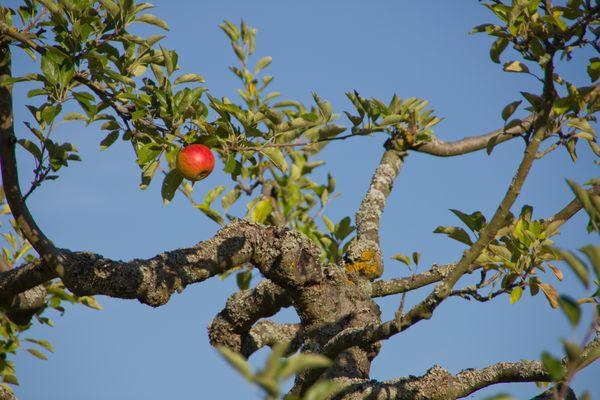 vereinsamter Apfel