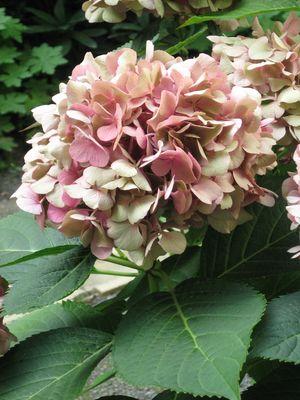 Verfärbungen von schönster Art: Hortensienblüte