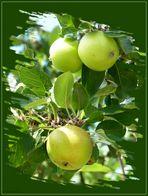 verführerische Äpfel