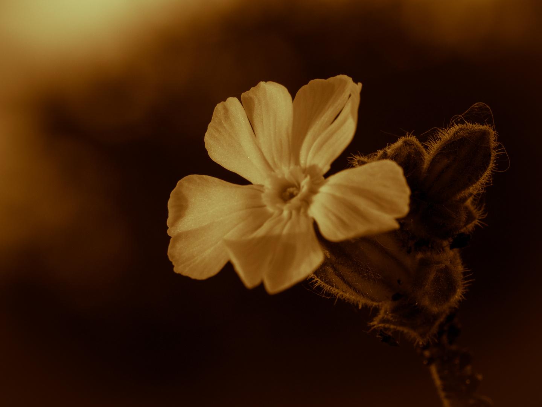 Vergängliche Feldweg-Blüte