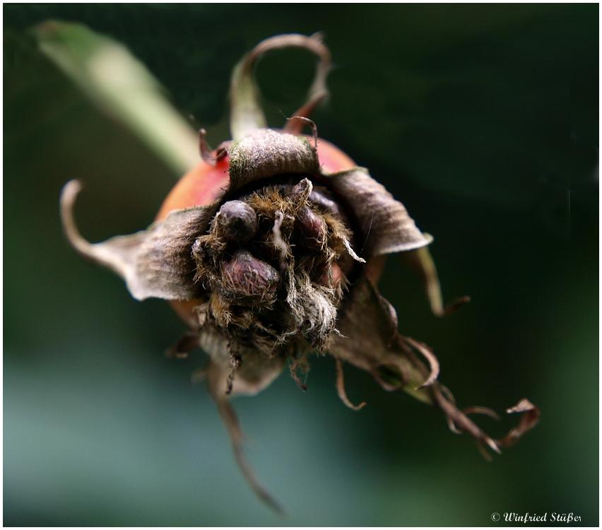 vergammelte hagebutte am rosenstrauch foto bild pflanzen pilze flechten bl ten. Black Bedroom Furniture Sets. Home Design Ideas